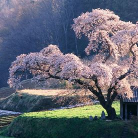 at-cherry-tree-japan-japan-japan+1152_12903125170-tpfil02aw-26253